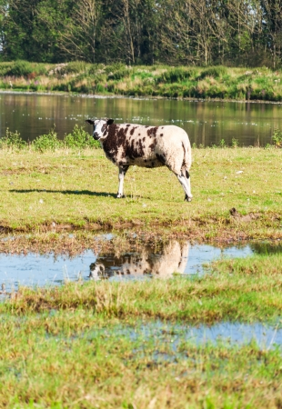 A lonely sheep is reflected in a puddle in the meadow. Stock Photo - 14589642