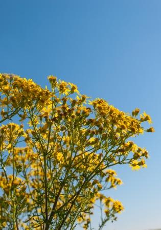 Yellow flowering Jacobaea vulgaris or ragweed against a blue sky photo