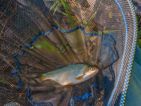 Close-up of a just caught small Silver Bream in the landing net  photo