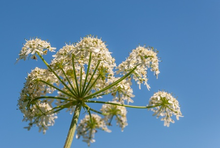 Detailed view at Heracleum sphondylium or Common Hogweed against the blue sky  photo