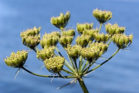 Closeup of seed pods of Heracleum sphondylium or Common Hogweed against the blue water surface  photo