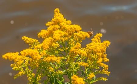 Close-up van Solidago virgaurea of Europese Goldenrod met een honingbij tegen de vage natuurlijke achtergrond van het wateroppervlak van de rivier