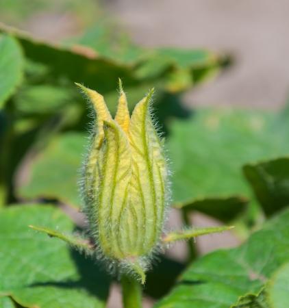 Closeup of the bud of a Pumpkin or Cucurbita plant in a sunny field. photo