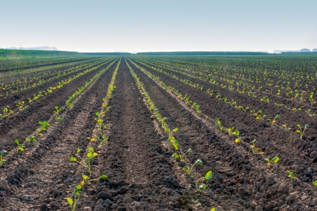 Convergerende lijnen van de kleine groene kool planten in een gebied in Nederland, is het vroeg in de ochtend Stockfoto