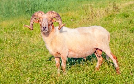 Proud male Mouflon sheep with large and  curved horns standing in grassland  photo