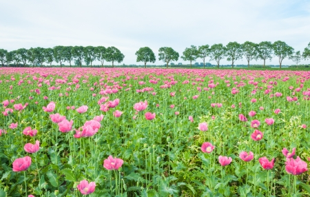 Pink flowering poppies in the foreground and a row of trees in the background  photo