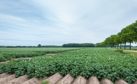 Agricultural landscape with flowering potato plants and a row of trees Stock Photo - 14805475