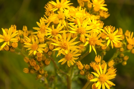 senecio: Close-up of budding and yellow flowering Narrow-leaved ragwort or Senecio inaequidens in a Dutch meadow