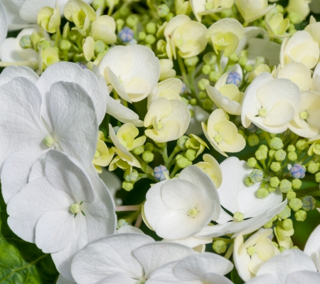 hydrangea macrophylla: Closeup of a section of a white flowering and green budding Hydrangea macrophylla plant.