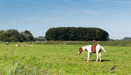 Dutch belted horse and white and brown  cows together in a meadow. photo