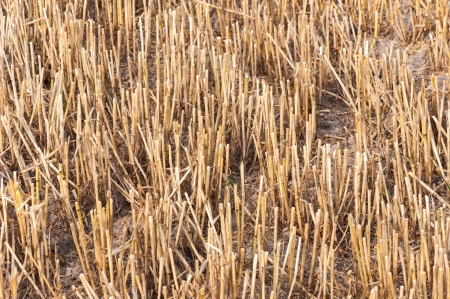 harvests: Details of a stubble field after harvesting wheat and straw