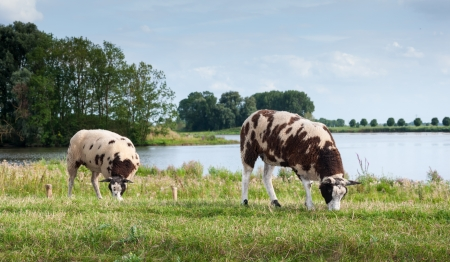 Brown and white spotted sheep standing on a Dutch dike  photo