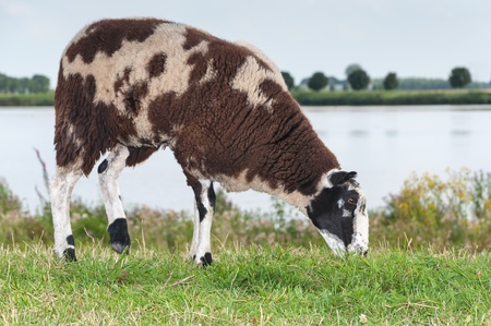 Brown and white spotted sheep standing on a Dutch dike Stock Photo - 14956880