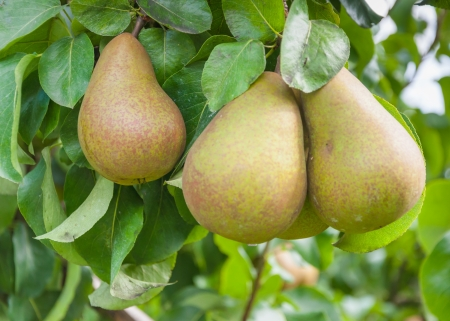 Triomphe de Vienne pears hanging on a tree in a Dutch orchard  Stockfoto