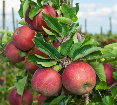 Delicious red apples hanging on a tree in a Dutch orchard