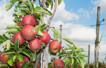 Delicious red apples hanging on a low espalier tree in a Dutch orchard  Stockfoto