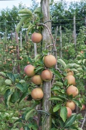 Lage bomen met lekkere appels in een Nederlandse boomgaard klaar voor de oogst