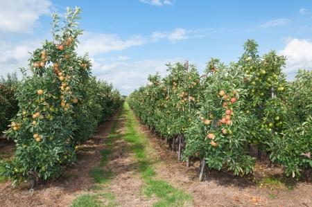 Moderne appelboomgaard met leiboomen in Nederland Stockfoto