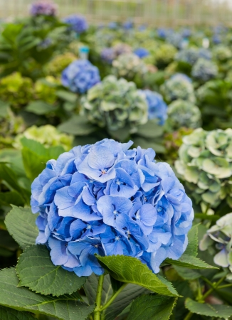 Blue flowering Hydrangea plants in a flower nursery in the Netherlands  photo