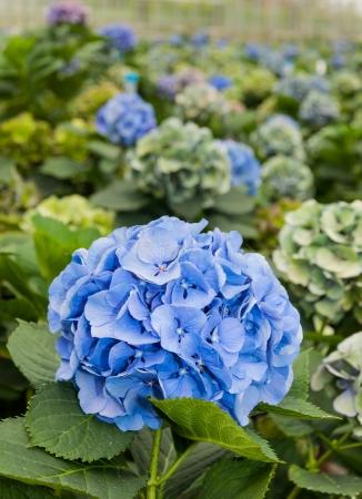 Blue flowering Hydrangea plants in a flower nursery in the Netherlands  photo