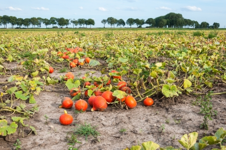 A large field with just harvested red pumpkins ready for picking and transport