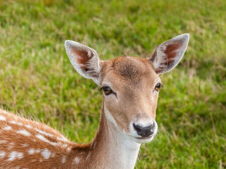 Een zeer mooie jonge damherten kijkt je met haar grote bruine ogen. Stockfoto
