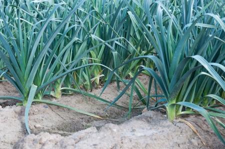 Rows of leek plants growing in soil