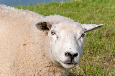 curiously: Closeup of a curiously looking sheep.