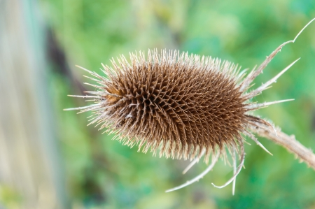 Dried Common Teasel against a blurred natural background Stock Photo - 15431532