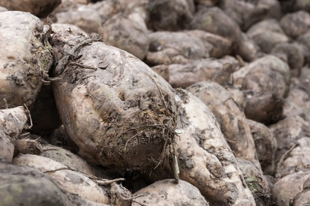 sucrose: Detailed image of a pile with just harvested sugar beets ready for transport to the sugar refinery.