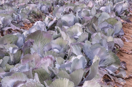 Detailed view at red cabbages in a Dutch field  photo