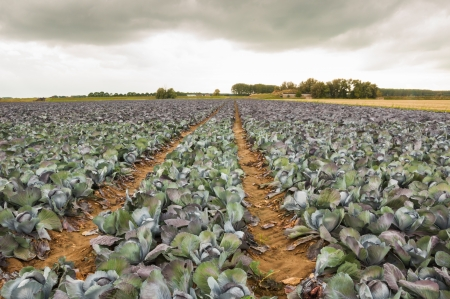 Field with red cabbages and tractor tracks Stock Photo - 15630195