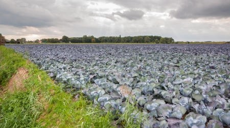 A cloudy day and a field full of ripe red cabbages Stock Photo - 15630190