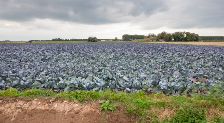 At the edge of a field full of red cabbages ripe for harvesting  It Stock Photo - 15630191