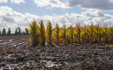 The silage maize on the field is partially harvested  Thereafter, the field was too wet  It is autumn in the Netherlands Stock Photo - 15630198