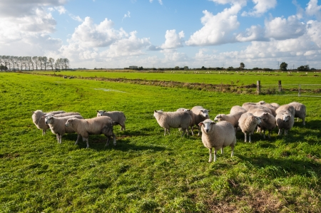 Sheep watching curiously  It is autumn and the sun is low already Stock Photo - 15630203