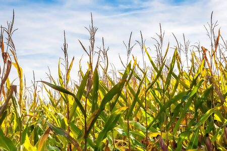 zea: Colorful details of fodder maize ready for harvesting in the Netherlands  Stock Photo