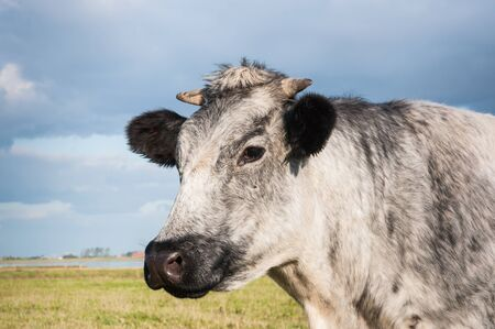 Grey cow with horns in a meadow is looking curiously. photo