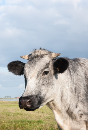 Grey cow with horns in a meadow is looking curiously. Stock Photo - 15758476