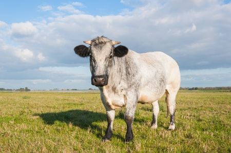 Grey cow with horns in a meadow is looking curiously. Stock Photo - 15758478