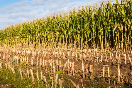 Detailed view of ripe and partially harvested fodder maize Stock Photo - 15758471