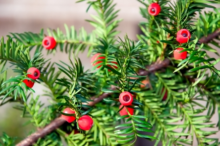 Closeup of Taxus baccata or European Yew with mature cones. Stock Photo