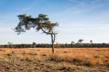 pinus sylvestris: Oddly shaped Scots Pine or Pinus sylvestris in an autumnal colored Dutch nature reserve