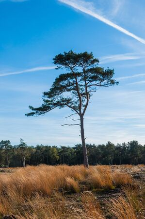 pinus sylvestris: Lonely Scots Pine or Pinus sylvestris in an autumnal colored Dutch nature reserve.