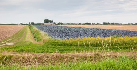Red cabbages field, a cornfield and a stubble field in a rural landscape with ditches and a path. Stock Photo - 16254737