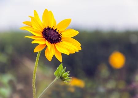 Gedetailleerde weergave van een ontluikende en bloeiende zonnebloemen plant tegen een onscherpe natuurlijke achtergrond. De plant groeit in een Nederlandse veld marge aangelegd om de biodiversiteit te bevorderen. Stockfoto