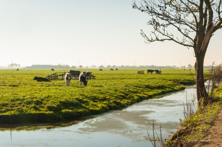 Dutch polder landscape with cows in low afternoon light. It is autumn already. photo