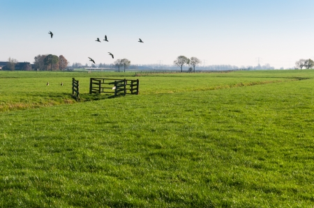 Geese flying away in a Dutch polder landscape with fences and trees. photo
