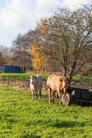 Two cows beside an old vehicle in the small meadow of a crofter and in the background beautiful trees in autumnal colors. photo