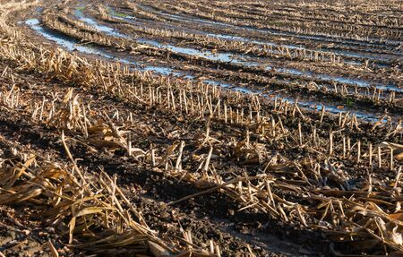 Closeup of a Dutch stubble field of harvested silage maize with reflecting puddles in the autumn season. Stock Photo - 16488745